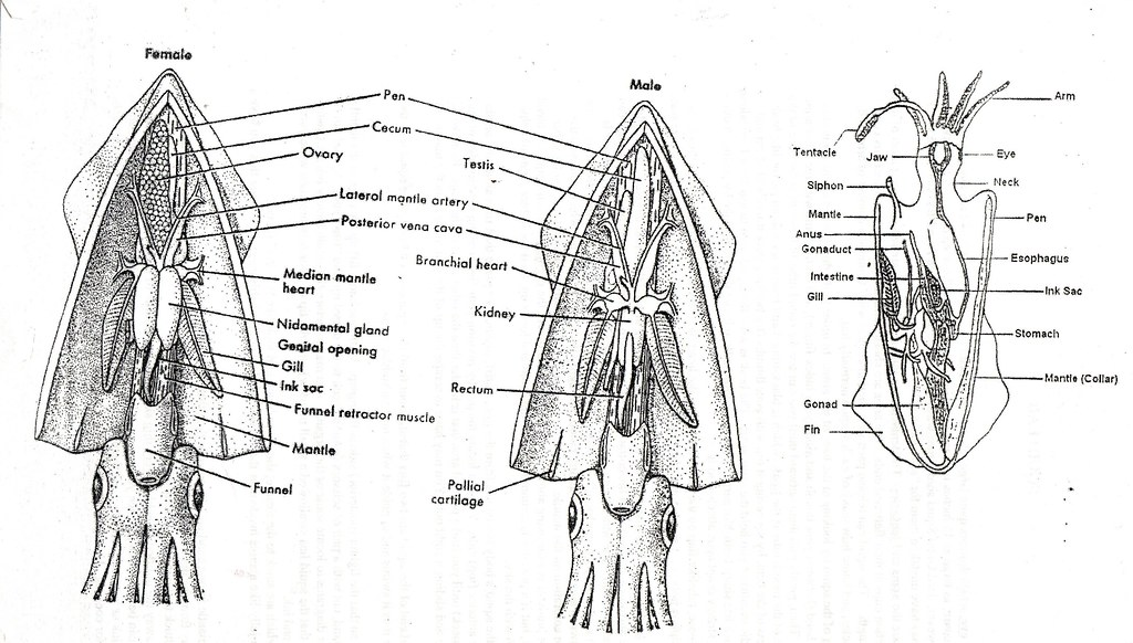 squid anatomy salvaged from my daughter s old schoolwork flickr rh flickr com