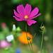 Pourquoi pas une fleur, aujourd'hui? Why not a flower, today?