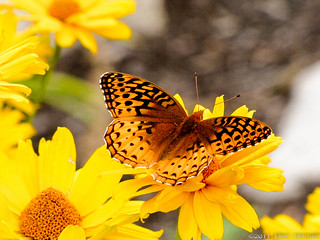 Great Spangled Fritillary Butterfly, Steep Falls, Maine | by Genny164
