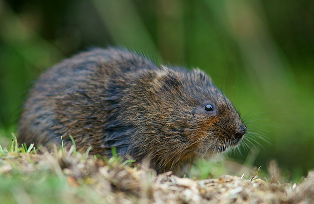 Water Vole Profile