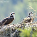 Osprey pair in nest