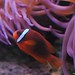 Clown fish-4