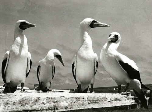 Blue-faced boobies, Pacific Ocean, November 11, 1968. | by Smithsonian Institution