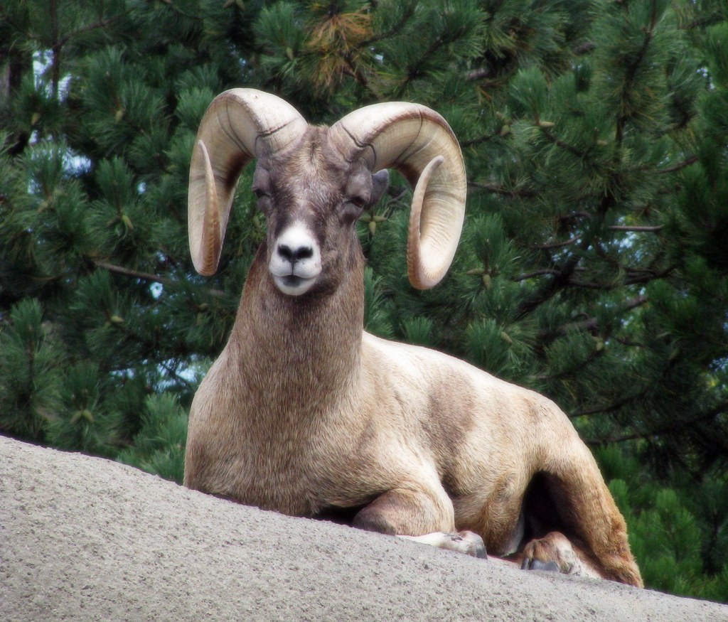 Rocky Mountain Bighorn Ram This Guy Is Letting Me To