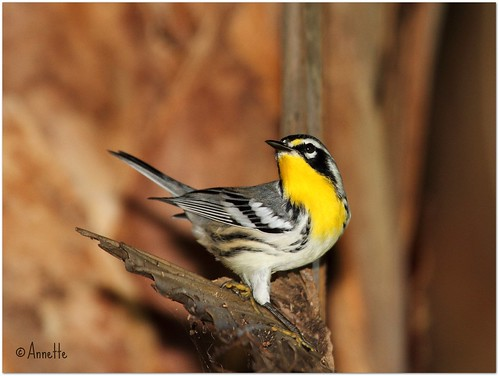 Yellow-throated Warbler__IMG_6056 | by skippyanne