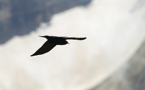 alpine chough | by ivanpics