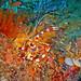 Gebänderte Scherengarnele - Banded boxer shrimp