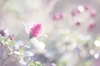 rose bud | by happypastel photography