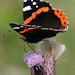 Red Admiral_0161
