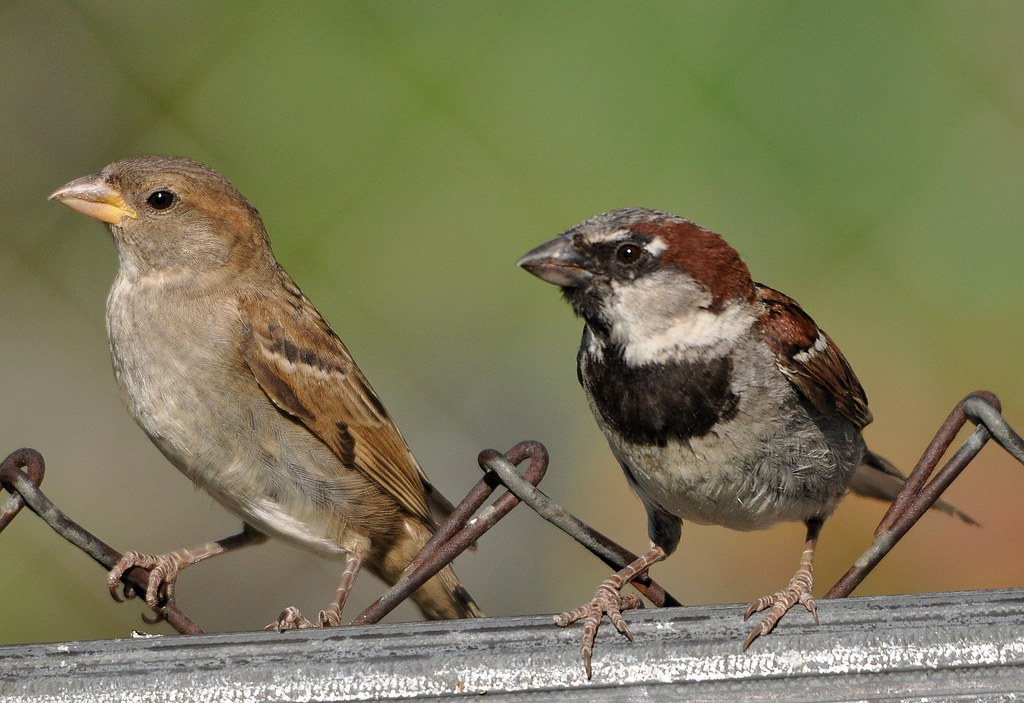 House Sparrow Male Male And Female House Sparrow