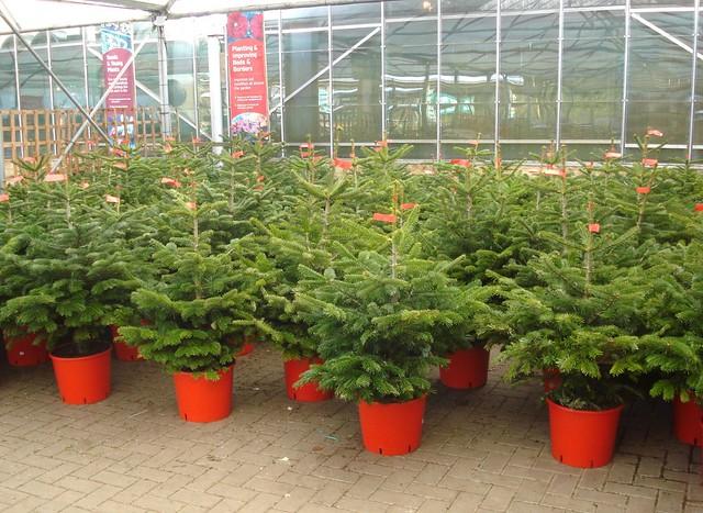 Pot Christmas Trees Flickr Photo Sharing