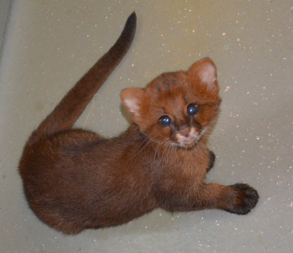 5 week old Jaguarundi Kittens We were allowed to see them …