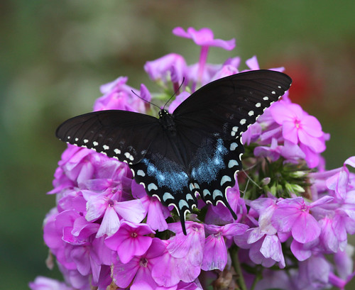 Spicebush Swallowtail On Phlox | by JKissnHug - Getting Back to Birding & Photography