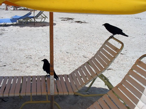 Crows on a Beach Chair | by di_the_huntress