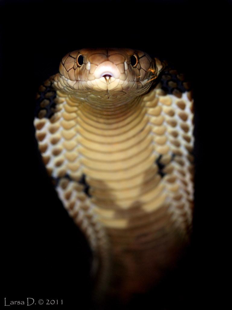 Ophiophagus hannah | Flickr