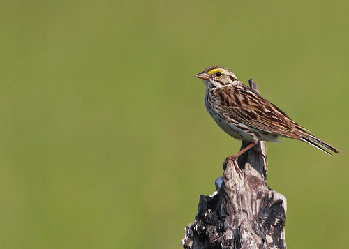 Savannah Sparrow...#2 | by Guy Lichter Photography - 3.7M views Thank you