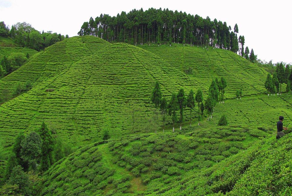 Tea Garden, Darjeeling, West Bengal, India. | Darjeeling Tea… | Flickr