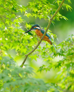 Kingfisher in Japanese maple tree | by myu-myu