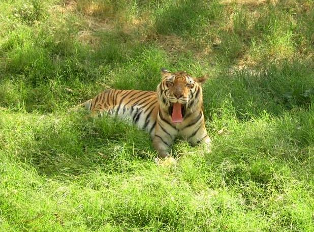 Yawning Tiger @ Jaipur Zoo | Jivan Swami | Flickr