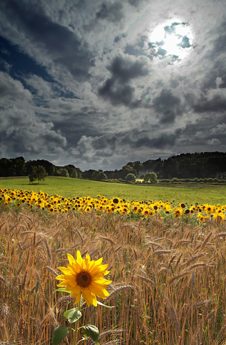 Sunflowers at Arne | by Tony Gill