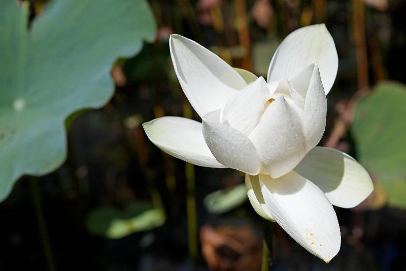 Le Jardin Des Pamplemousses Fleur De Lotus Ile Maurice Ka Flickr