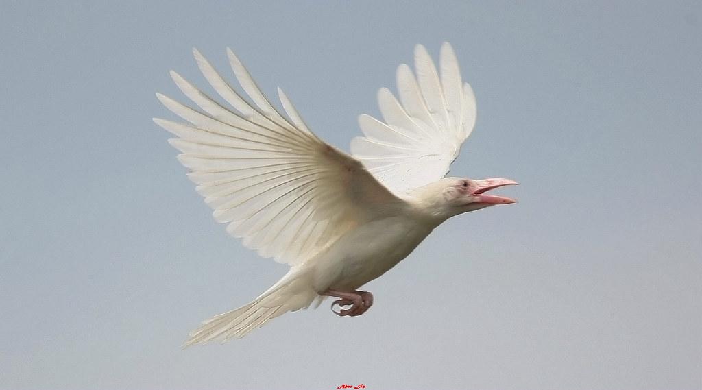 the white crow - photo #36