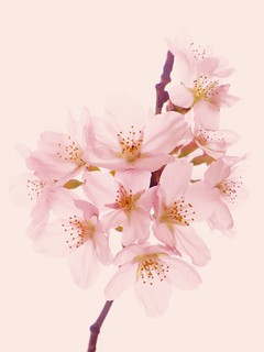 桜 - Cherry Blossoms_110423214059 | by Spiral Gene