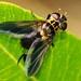 Mosca // Tachinid Fly (Trichopoda pennipes)