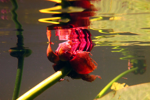underwater waterlily reflections 1 | by claudia5573