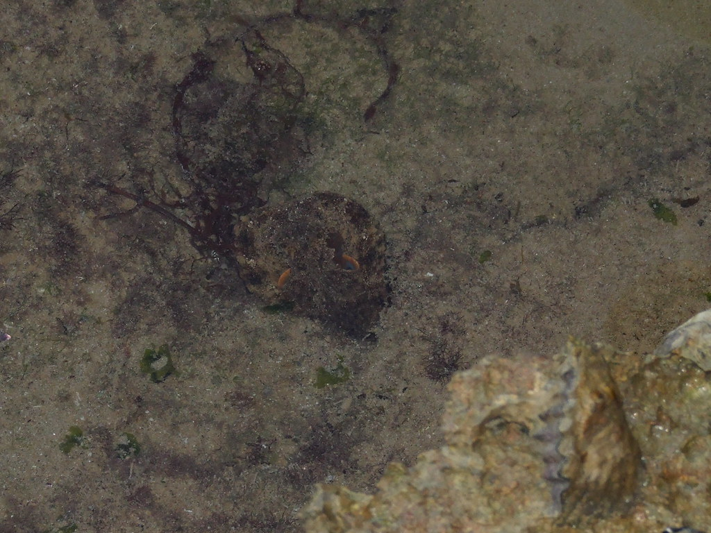 octopoda octopus dscf34491 kingdomanimalia phylum