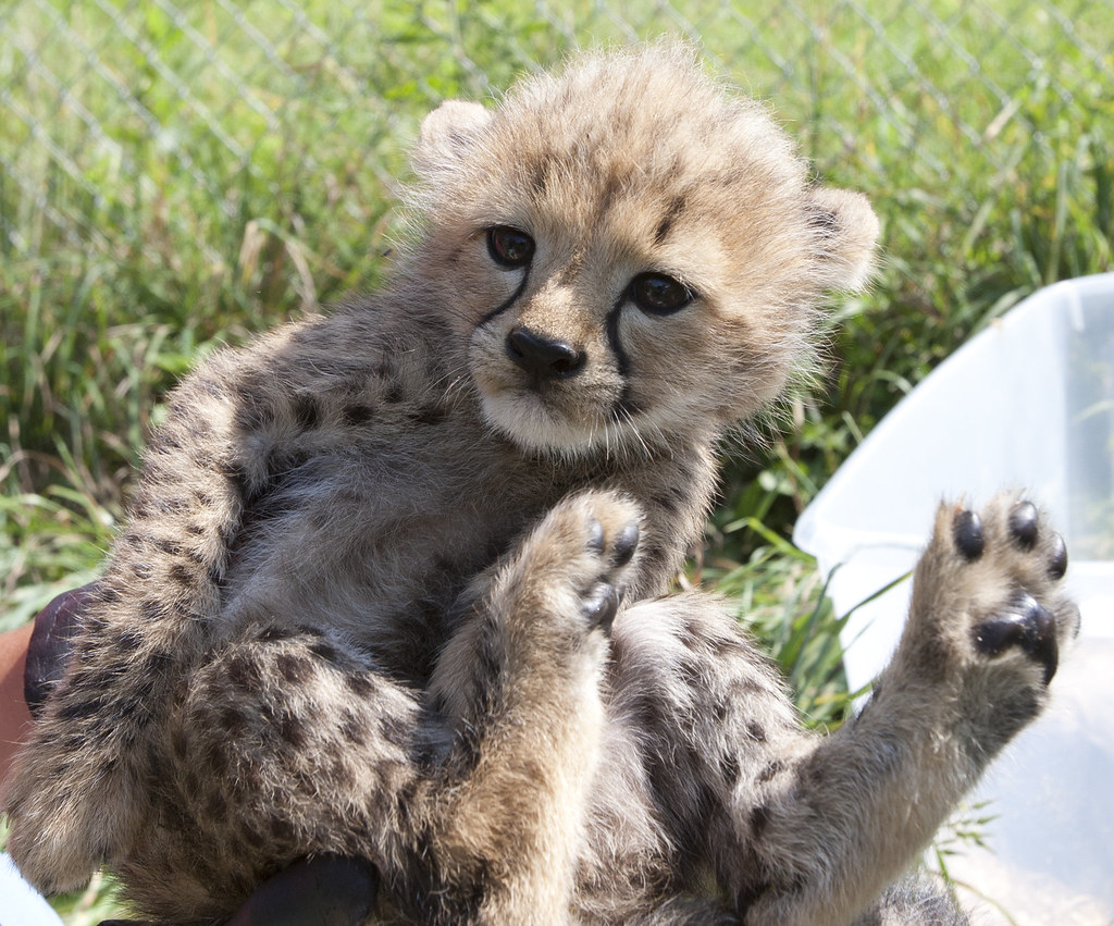Smithsonian Conservation Biology Institute s Five Cheetah Cubs