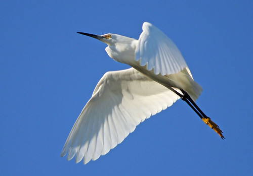 Snowy Egret in Flight | by K. Menzel Photography ( on and off)