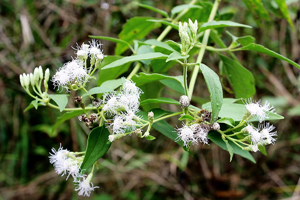 Butterfly Bush Plant