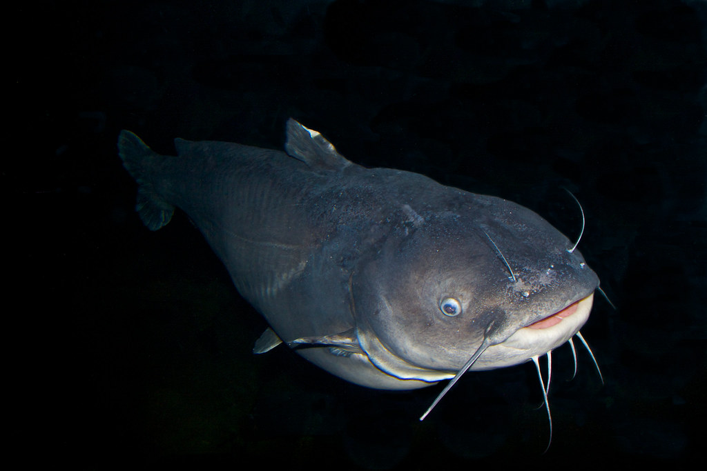 Image gallery mississippi catfish for Mississippi river fish