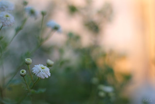 Feverfew At Sunset | by amy~♥
