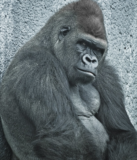 The gallery for --> Gorilla Angry - photo#18