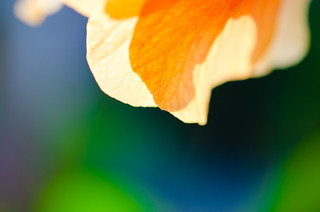 Orange Hibiscus Glow-1. By Thomas Tolkien | by Thomas Tolkien