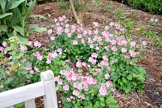 'September Charm' Japanese Anemone | by University of Maryland Arboretum and Botanical Gar