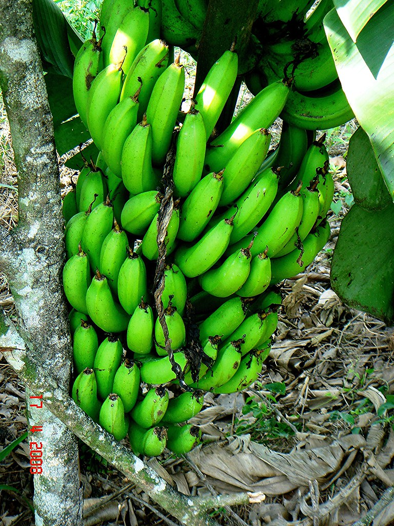 musa acuminata colla  aaa group  cv   u0026 39 dwarf cavendish