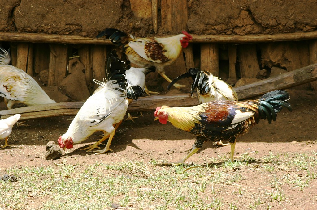 Indigenous chicken flock foraging in Ethiopia | Photo ...