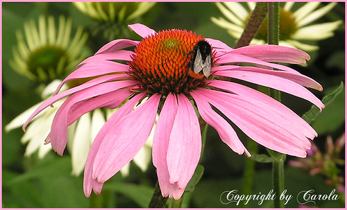 Echinacea & bee | by Boxwoodcottage