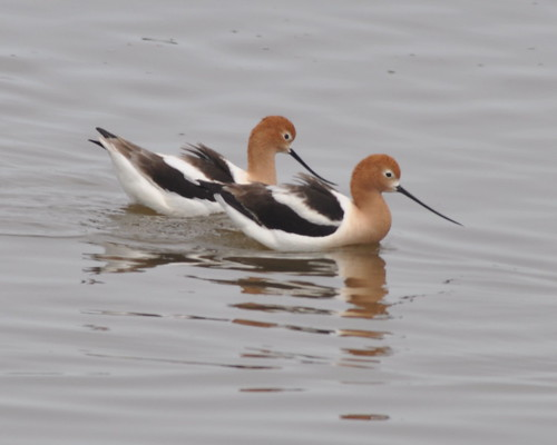 American Avocets/Squaw Creek May 2011 | by Mary Sue2010