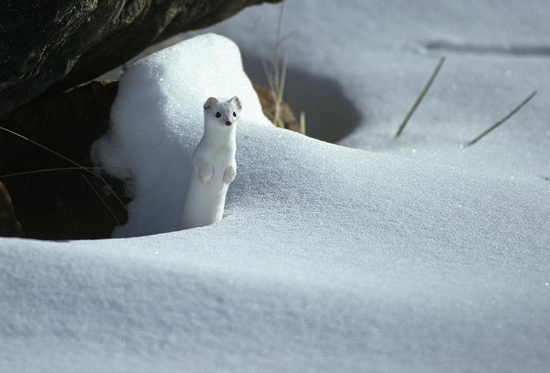 Ermine in winter | Valle d'Aosta - Ermine | Visit Aosta