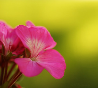Pink Geranium | by j man.