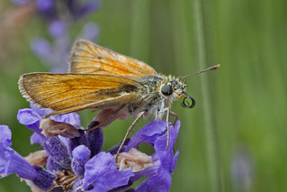 Small Skipper Butterfly curling its tongue away (Thymelicus sylvestris) | by Roland Bogush