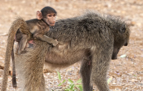Baboon and Baby | by Marc_Scott-Parkin
