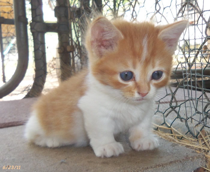 Related Keywords & Suggestions for orange munchkin cat