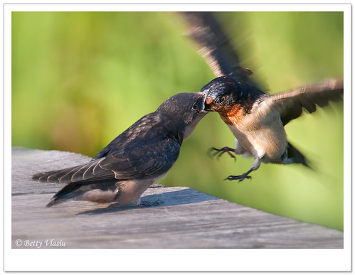 Barn Swallow | by Betty Vlasiu