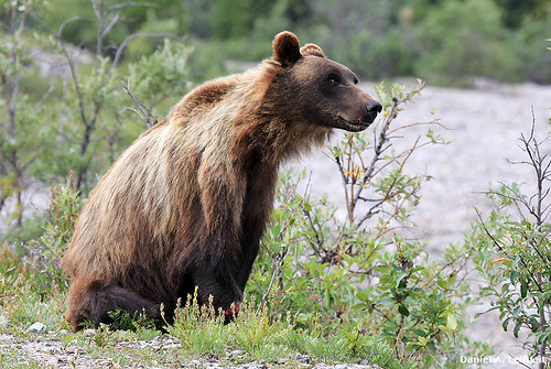 Grizzly Bear at Denali | by Critter Seeker