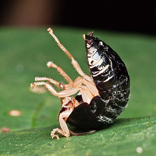 Pill Bug P1140339s Shoulder Stand | by Pen Araneae